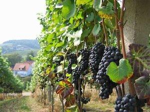 vinograd Полезные свойства винограда